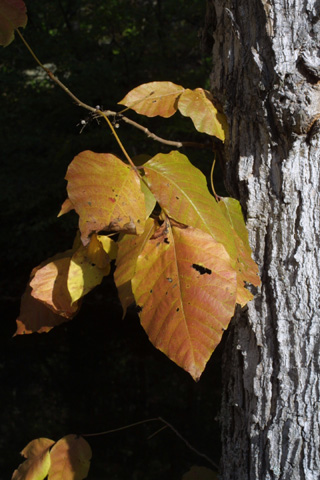 Image http://bioimages.vanderbilt.edu/lq/baskauf/wtora2-lffall-color16418.jpg