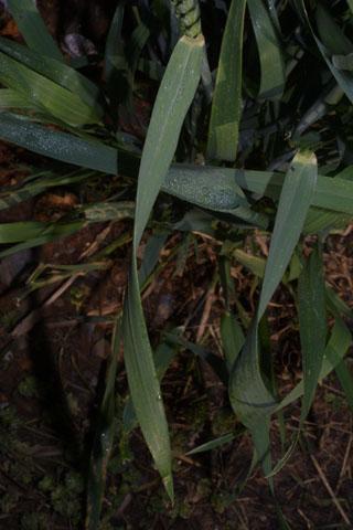 Image http://bioimages.vanderbilt.edu/lq/baskauf/wtrae--lf33570.jpg