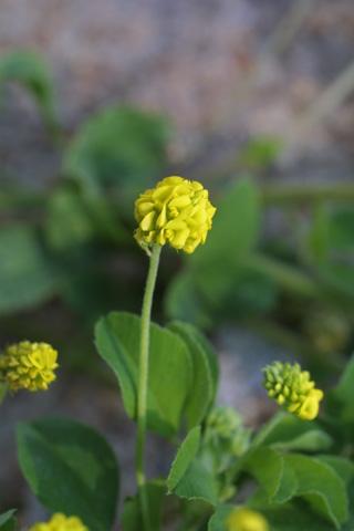 Image http://bioimages.vanderbilt.edu/lq/baskauf/wtrca5-fl18525.jpg