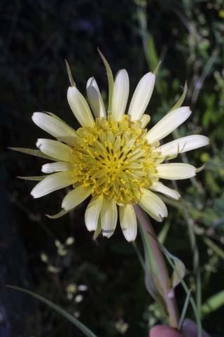 Image http://bioimages.vanderbilt.edu/lq/baskauf/wtrdu--flfront21484.jpg