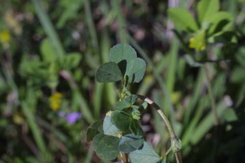 Image http://bioimages.vanderbilt.edu/lq/baskauf/wtrdu2-lf23945.jpg