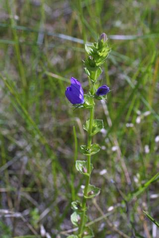 Image http://bioimages.vanderbilt.edu/lq/baskauf/wtrpe4-flinflor11016.jpg