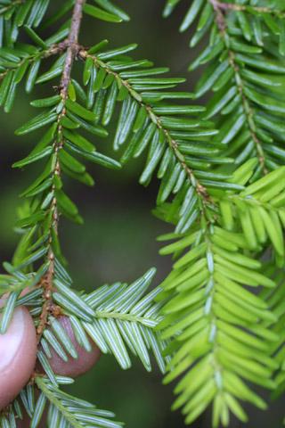 Image http://bioimages.vanderbilt.edu/lq/baskauf/wtsca--lf11394.jpg