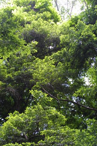 Image http://bioimages.vanderbilt.edu/lq/baskauf/wtsca--wpstand-canopy11495.jpg