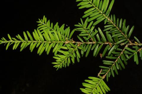 Image http://bioimages.vanderbilt.edu/lq/baskauf/wtshe--lfdistant40690.jpg