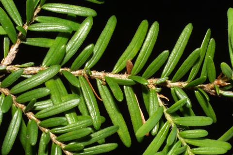 Image http://bioimages.vanderbilt.edu/lq/baskauf/wtshe--lfseveral40693.jpg