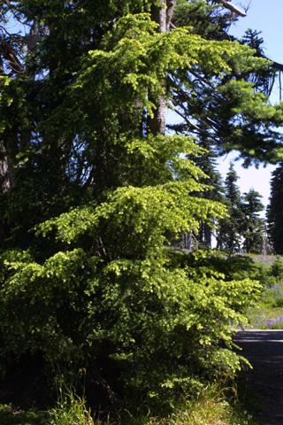 Image http://bioimages.vanderbilt.edu/lq/baskauf/wtsme--wp41235.jpg