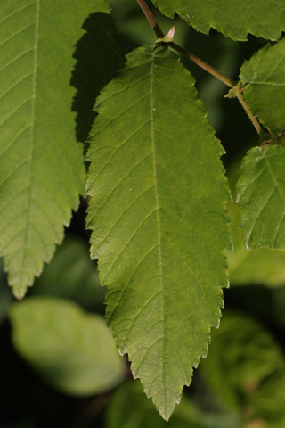 Image http://bioimages.vanderbilt.edu/lq/baskauf/wulal--lf11164.jpg
