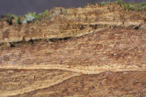 Image http://bioimages.vanderbilt.edu/lq/baskauf/wulam--brstripe-chr16195.jpg