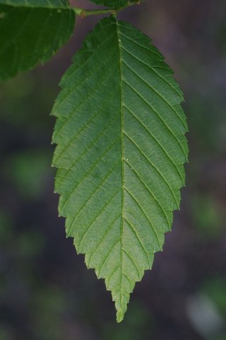 Image http://bioimages.vanderbilt.edu/lq/baskauf/wulam--lf11688.jpg