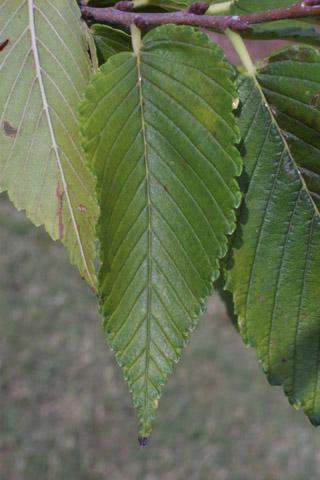 Image http://bioimages.vanderbilt.edu/lq/baskauf/wulam--lf15238.jpg