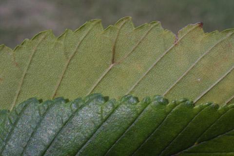 Image http://bioimages.vanderbilt.edu/lq/baskauf/wulam--lfmargin-uplow15230.jpg