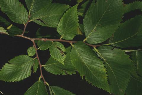 Image http://bioimages.vanderbilt.edu/lq/baskauf/wulam--twno-flower-buds-dist55139.jpg