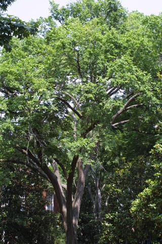 Image http://bioimages.vanderbilt.edu/lq/baskauf/wulam--wplarge12242.jpg