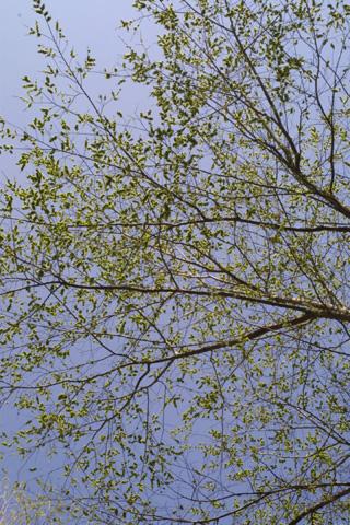 Image http://bioimages.vanderbilt.edu/gq/baskauf/gulru--frmass19579.jpg