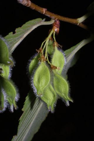 Image http://bioimages.vanderbilt.edu/lq/baskauf/wulse--frdevel30167.jpg