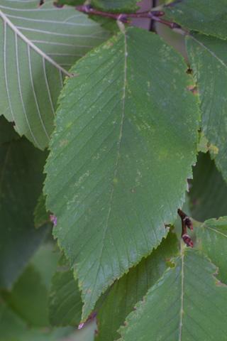 Image http://bioimages.vanderbilt.edu/lq/baskauf/wulse--lf16169.jpg