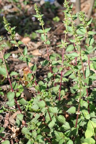 Image http://bioimages.vanderbilt.edu/lq/baskauf/wurch3-wp50806.jpg