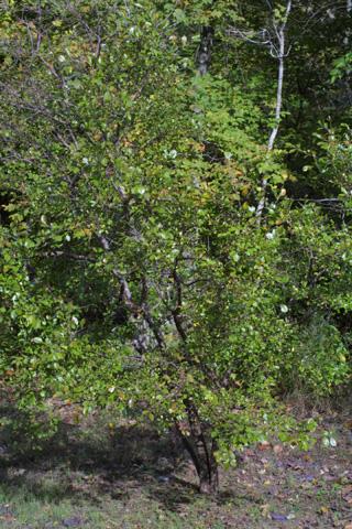 Image http://bioimages.vanderbilt.edu/lq/baskauf/wvaar--wp16444.jpg