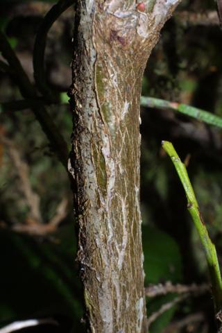 Image http://bioimages.vanderbilt.edu/lq/baskauf/wvapa--br41716.jpg