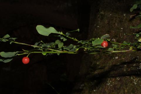 Image http://bioimages.vanderbilt.edu/lq/baskauf/wvapa--frinfruct41718.jpg