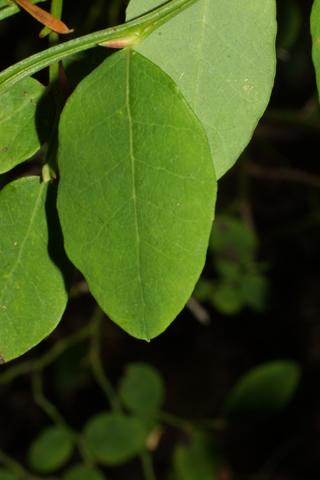 Image http://bioimages.vanderbilt.edu/lq/baskauf/wvapa--lf41714.jpg