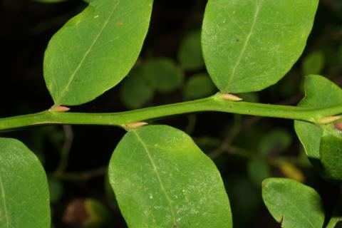 Image http://bioimages.vanderbilt.edu/lq/baskauf/wvapa--tw41715.jpg