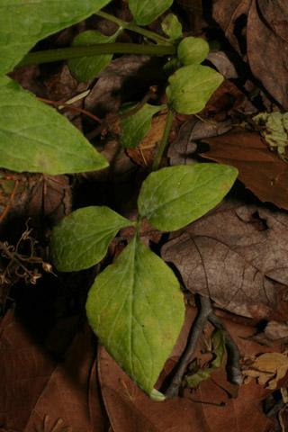 Image http://bioimages.vanderbilt.edu/lq/baskauf/wvapa2-lflower57890.jpg