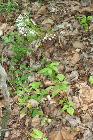 Image http://bioimages.vanderbilt.edu/lq/baskauf/wvapa2-wp57874.jpg