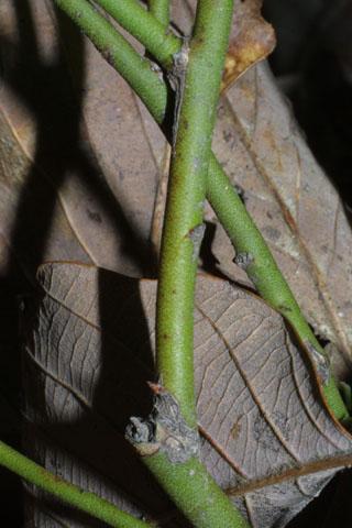 Image http://bioimages.vanderbilt.edu/lq/baskauf/wvapa4-br33227.jpg