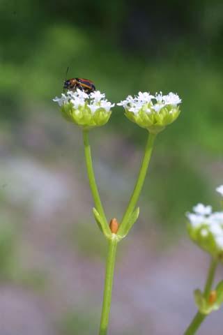 Image http://bioimages.vanderbilt.edu/lq/baskauf/wvara--flside22223.jpg