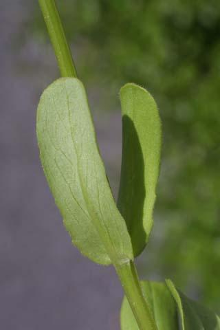Image http://bioimages.vanderbilt.edu/lq/baskauf/wvara--lf22212.jpg
