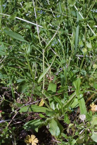 Image http://bioimages.vanderbilt.edu/lq/baskauf/wvara--wp20126.jpg