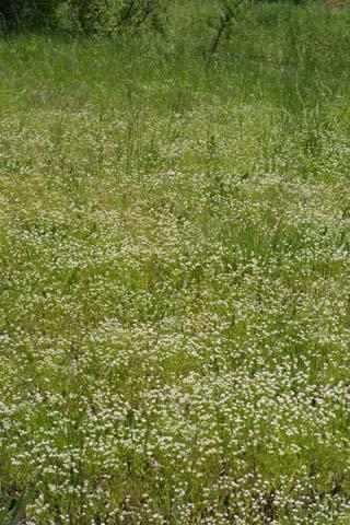 Image http://bioimages.vanderbilt.edu/lq/baskauf/wvara--wpmass22187.jpg