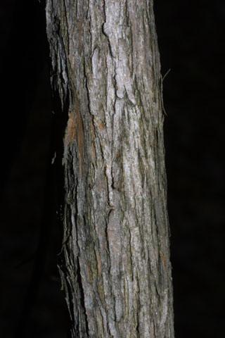 Image http://bioimages.vanderbilt.edu/lq/baskauf/wvast--br32444.jpg