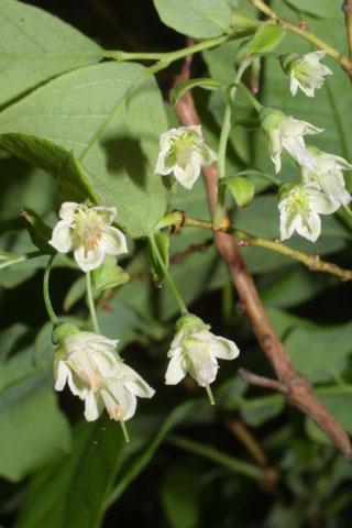 Image http://bioimages.vanderbilt.edu/lq/baskauf/wvast--flfront33176.jpg