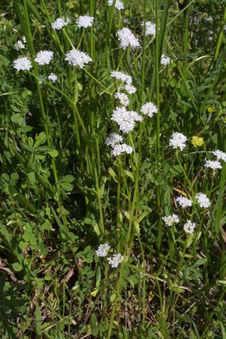 Image http://bioimages.vanderbilt.edu/lq/baskauf/wvaum--wp21370.jpg
