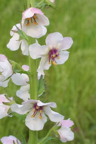 Image http://bioimages.vanderbilt.edu/lq/baskauf/wvebl--fl23520.jpg