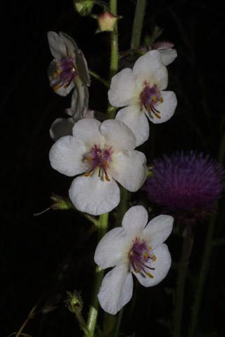 Image http://bioimages.vanderbilt.edu/lq/baskauf/wvebl--flwhite27407.jpg
