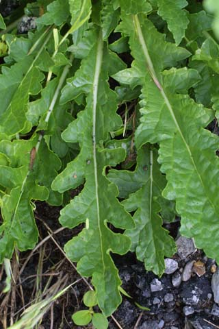 Image http://bioimages.vanderbilt.edu/lq/baskauf/wvebl--lfbasal23526.jpg