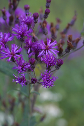 Image http://bioimages.vanderbilt.edu/lq/baskauf/wvegi--fldevel15451.jpg