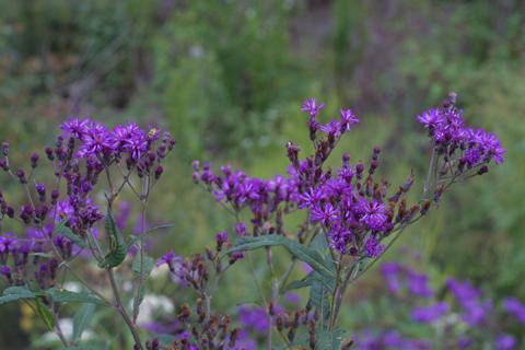 Image http://bioimages.vanderbilt.edu/lq/baskauf/wvegi--flinflor15463.jpg