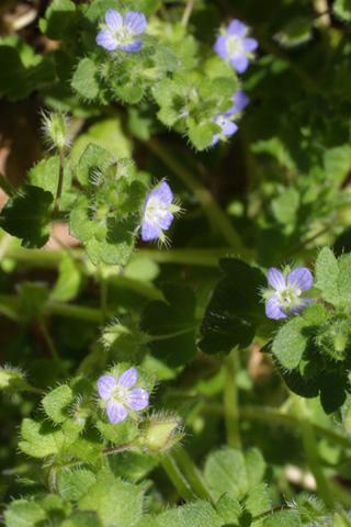 Image http://bioimages.vanderbilt.edu/lq/baskauf/wvehe2-fl17693.jpg