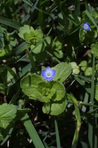 Image http://bioimages.vanderbilt.edu/lq/baskauf/wvehe2-fl21580.jpg