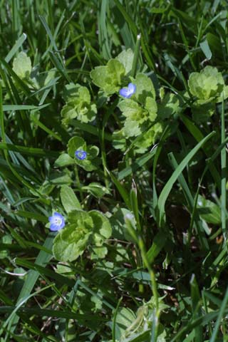 Image http://bioimages.vanderbilt.edu/lq/baskauf/wvehe2-wp21584.jpg