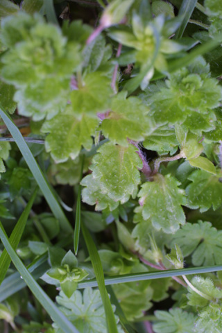 Image http://bioimages.vanderbilt.edu/lq/baskauf/wvepe3-lf18718.jpg