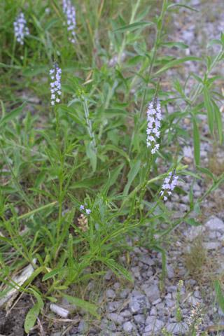 Image http://bioimages.vanderbilt.edu/lq/baskauf/wvesi--wp13033.jpg