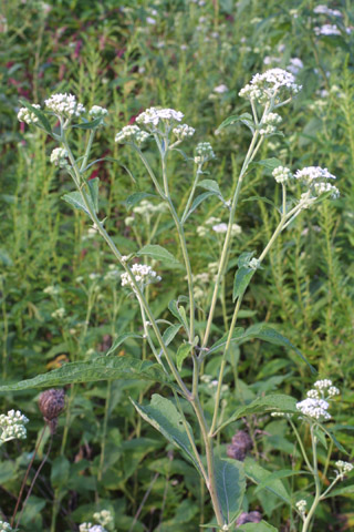 Image http://bioimages.vanderbilt.edu/lq/baskauf/wvevi3-flinflor29083.jpg