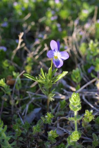 Image http://bioimages.vanderbilt.edu/lq/baskauf/wvibi--wp10512.jpg