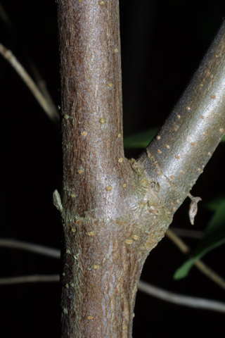 Image http://bioimages.vanderbilt.edu/lq/baskauf/wvidel-br39870.jpg